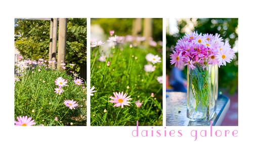 Daisies_1